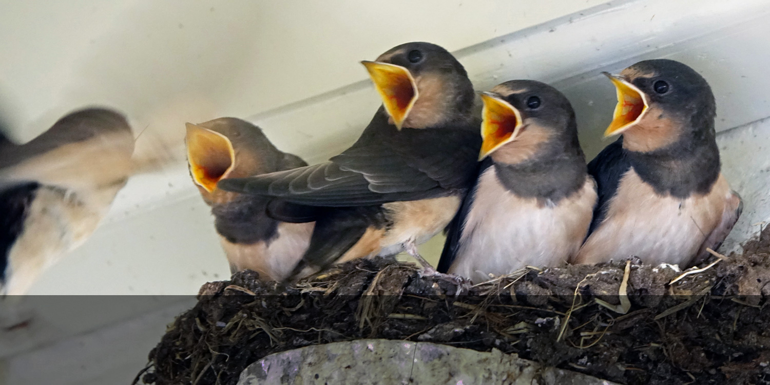 Young swallows, ready to leave their nest